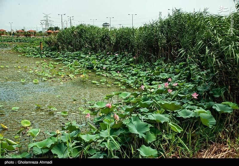 2868047 - عکس/ تالاب گل لاله بابل