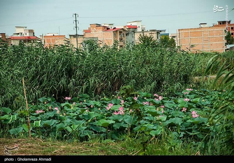 2868049 - عکس/ تالاب گل لاله بابل