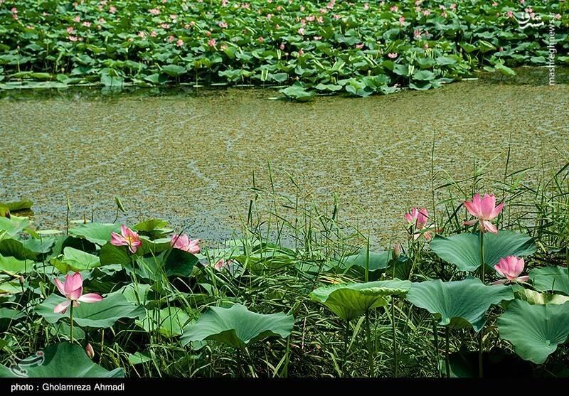 2868050 - عکس/ تالاب گل لاله بابل