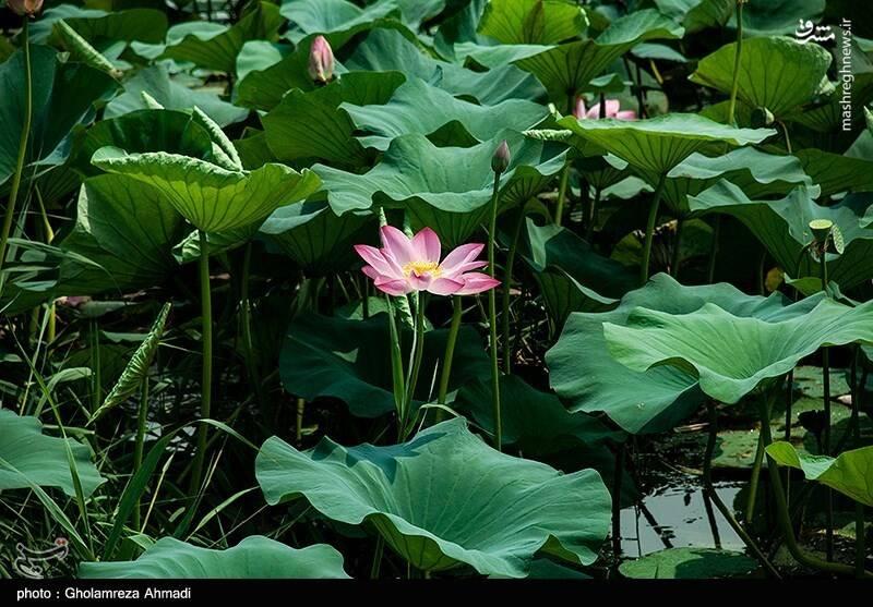 2868057 - عکس/ تالاب گل لاله بابل