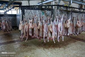 عکس/ ذبح قربانی در کشتارگاه صنعتی قم