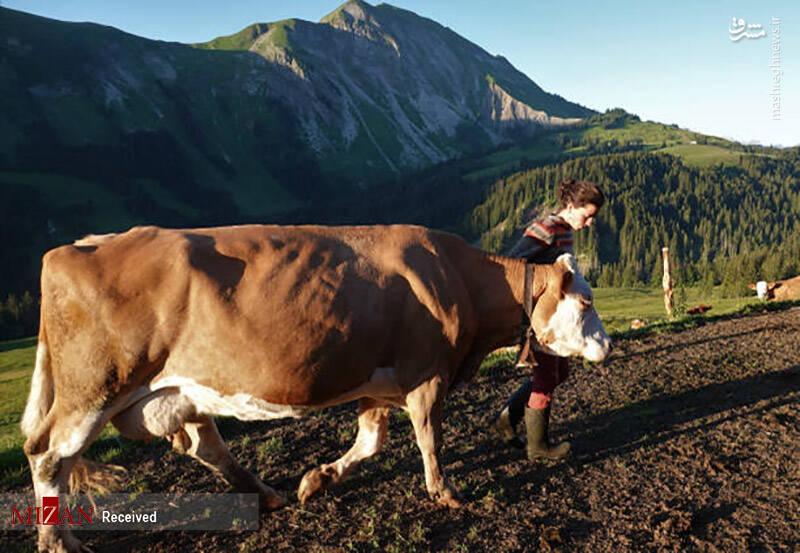2868885 - عکس/ پنیر معروف آلپ