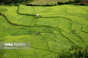 عکس/ به خواب رفتگی شالیزارهای برنج مازندران