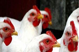 تاثیر «مرغ لاین» در نابسامانی بازار مرغ +فیلم