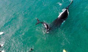 عکس/ موج سواری در کنار نهنگها