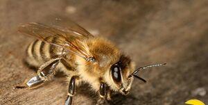قدرت زنبور جواهر در نابودی قوه تفکر و اراده حشرات