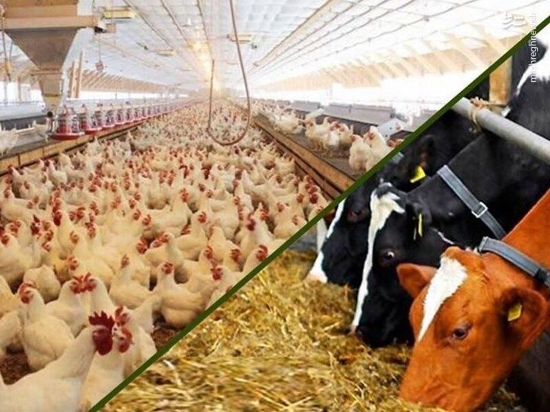 کاهش قیمت خوراک دام در بازارهای جهانی