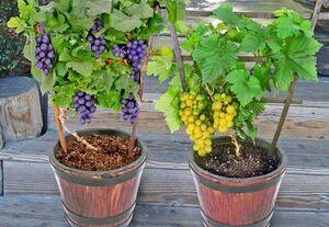 نحوه کاشت درخت انگور در گلدان