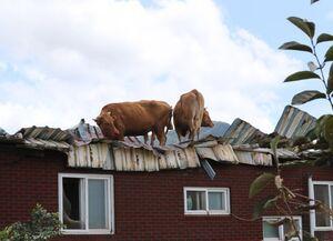 عکس/ پناه بردن گاوها به پشت بام منازل