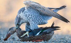 عکس/ حمله شاهین به یک اردک