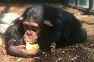 تعلل دوباره محیط زیست درباره تنها بچهشامپانزه ایران