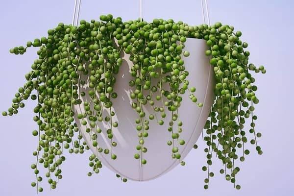 خانهتان را با این گیاه سمزدایی کنید