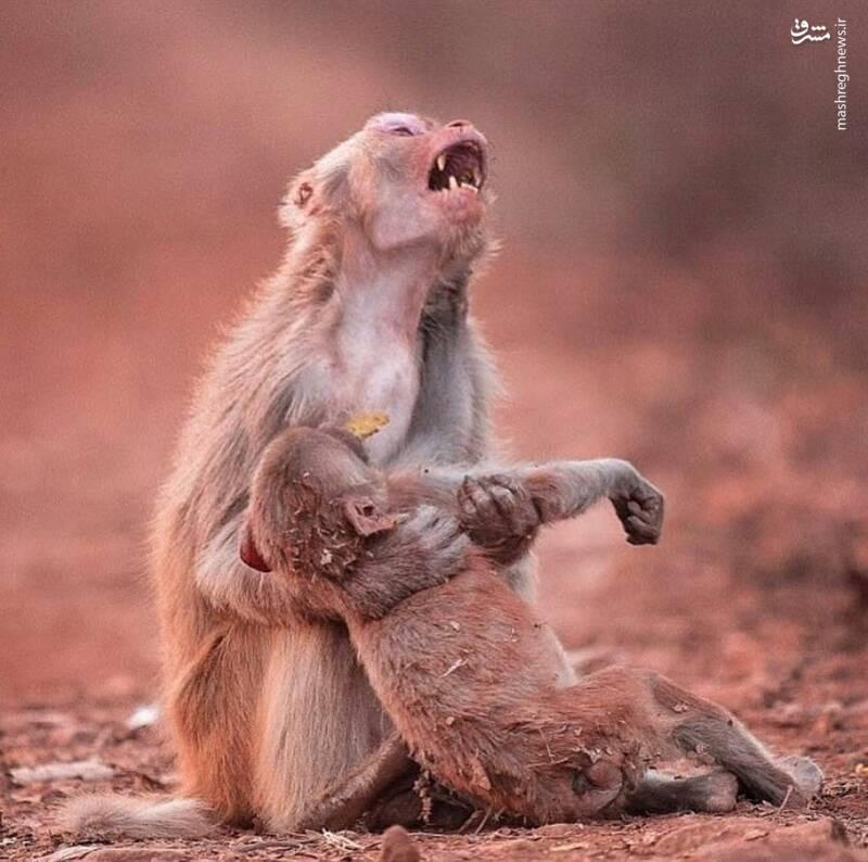 2881135 - عکس/ گریه میمون مادر پس از مرگ فرزندش