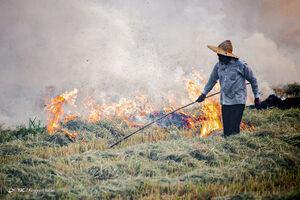 عکس/ آتش به جان مزارع برنج و گندم