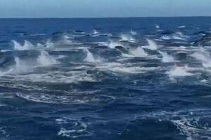 شنای جمعی دلفینها - کراپشده