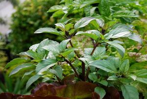 ۱۲ گیاه خوراکی برای کاشت در باغچه