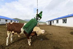 کارواش گاوها