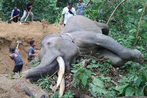 عکس/ دفن فیل غول پیکر