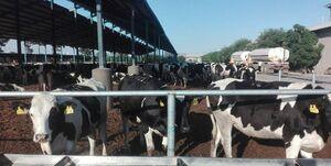 کارشکنی ژاپن عامل شیوع بیماری« تب سه روزه گاوی»