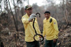 عکس/ یک مار سوخته در آتش سوزی آمازون