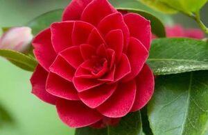 کاملیا، شبیهترین گیاه به گل رز را بشناسید