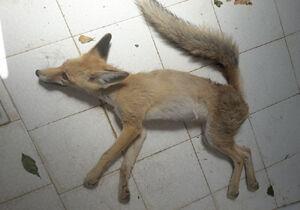آتش نشانان مهابادی روباه زخمی را نجات دادند