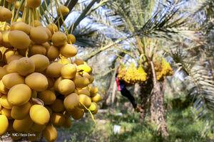 عکس/ برداشت رطب از نخلستانهای آبادان
