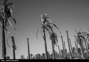 عکس/ عطش نخلستانهای شادگان