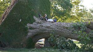 عکس/ درختی که از ریشه کنده شد