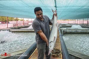 عکس/ پرورش ماهیان خاویاری در آستارا