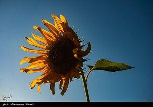 عکس/ مزارع زیبای آفتابگردان در بهشهر