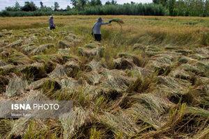 عکس/ روزهای پر رنج برداشت برنج در گیلان