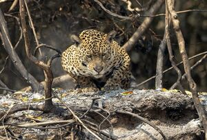 فیلم/ حمله پلنگ به روستای زرآباد در الموت!
