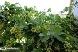 عکس/ برداشت یک تنی انگور از حیاط کوچک خانهای در اراک
