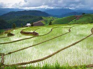 فیلم/ پاکسازی  شالیزارهای برنج توسط هزاران اُردک