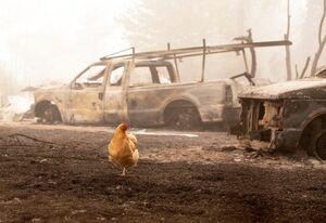 عکس/ مرغ سرگردان