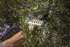 عکس/ آغاز فصل برداشت زیتون در رودبار