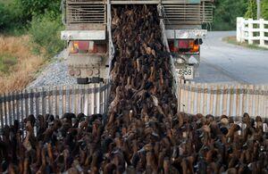 عکس/ نحوه بارگیری اردک در کامیون