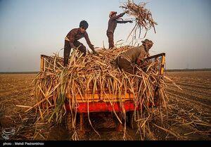 تصاویری از کشت نیشکر در خوزستان
