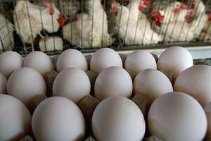 فیلم/ زورآزمایی تخم مرغ و وزارت کشاورزی