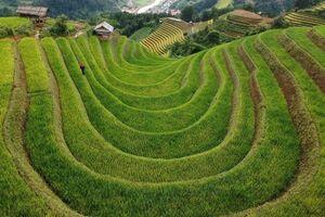 عکس/ مزارع برنج پلکانی ویتنام