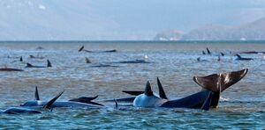 عکس/ عملیات نجات صدها نهنگ در استرالیا