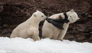 عکس/ بچهخرسهای قطبی در حال خوردن کیسه زباله