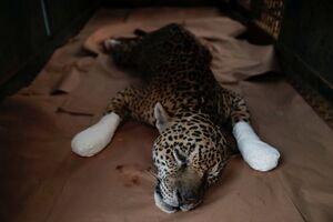 عکس/ مداوای یک پلنگ در آمازون