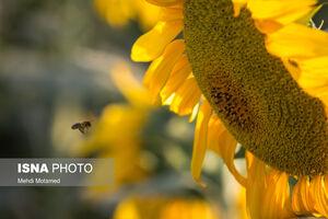 تصاویر دیدنی از مزارع آفتابگردان قزوین
