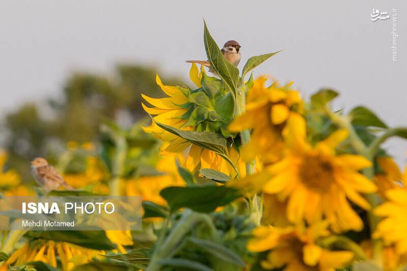 2926622 - تصاویر دیدنی از مزارع آفتابگردان قزوین