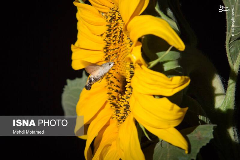 2926623 - تصاویر دیدنی از مزارع آفتابگردان قزوین