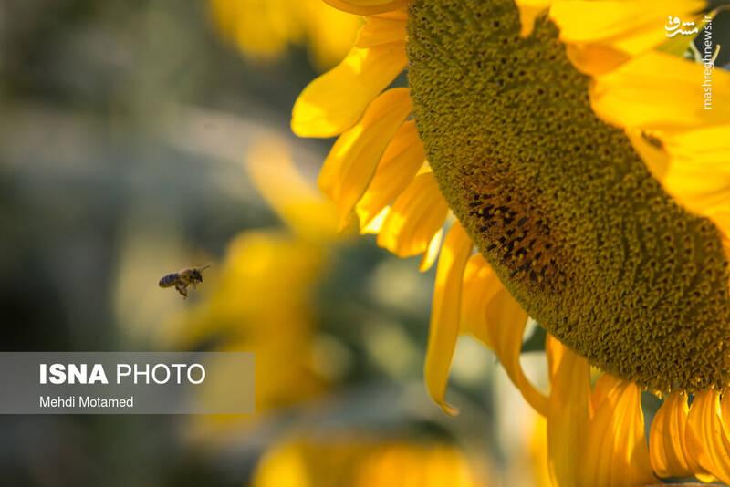 2926624 - تصاویر دیدنی از مزارع آفتابگردان قزوین