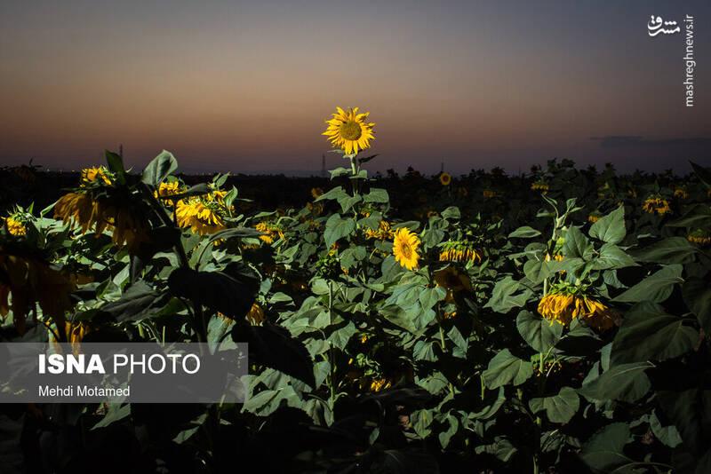 2926626 - تصاویر دیدنی از مزارع آفتابگردان قزوین