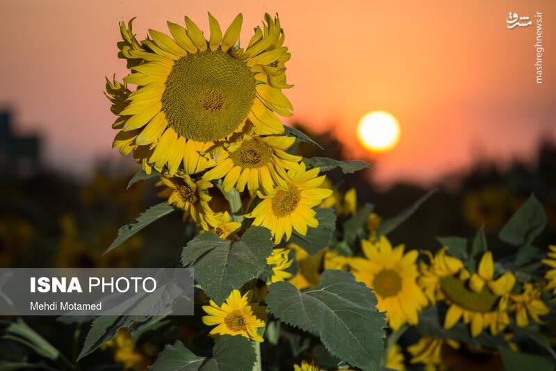 2926627 - تصاویر دیدنی از مزارع آفتابگردان قزوین